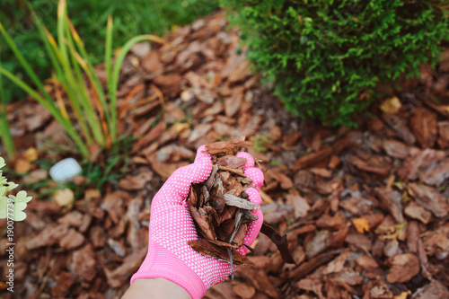 Fototapeta mulching garden beds with pine bark pieces