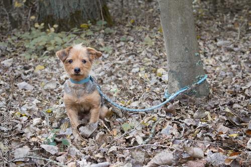 un petit chien attaché à un arbre seul et abandonné dans la forêt scène Billede på lærred