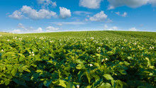 Potato Field And Blue Sky At B...