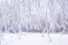 Tree Branch In Snow And Hoar F...