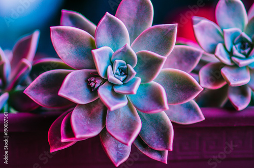 succulent (purple and green)