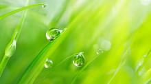 Beautiful Large Drops Of Fresh...