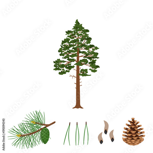 Obraz Tree pine, branch, pine cone, needles and pine seeds on a white background. Vector illustration. - fototapety do salonu