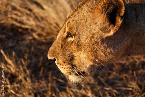 Staande foto Afrika Portrait of a Lioness in Tsavo West National Park, Kenya