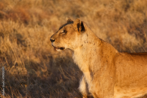 Staande foto Afrika Lioness in Tsavo West National Park, Kenya
