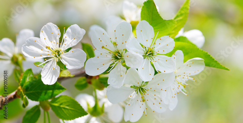 Blossoming cherry against the blue sky. Wide photo.