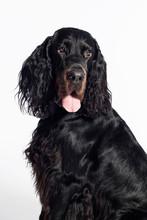 Gordon Setter Dog Portrait