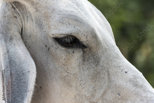 Closeup of Indian cow Kutch Gujarat India - Buy this stock photo and