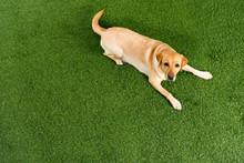 Top View Of Golden Retriever Dog Lying On Green Grass