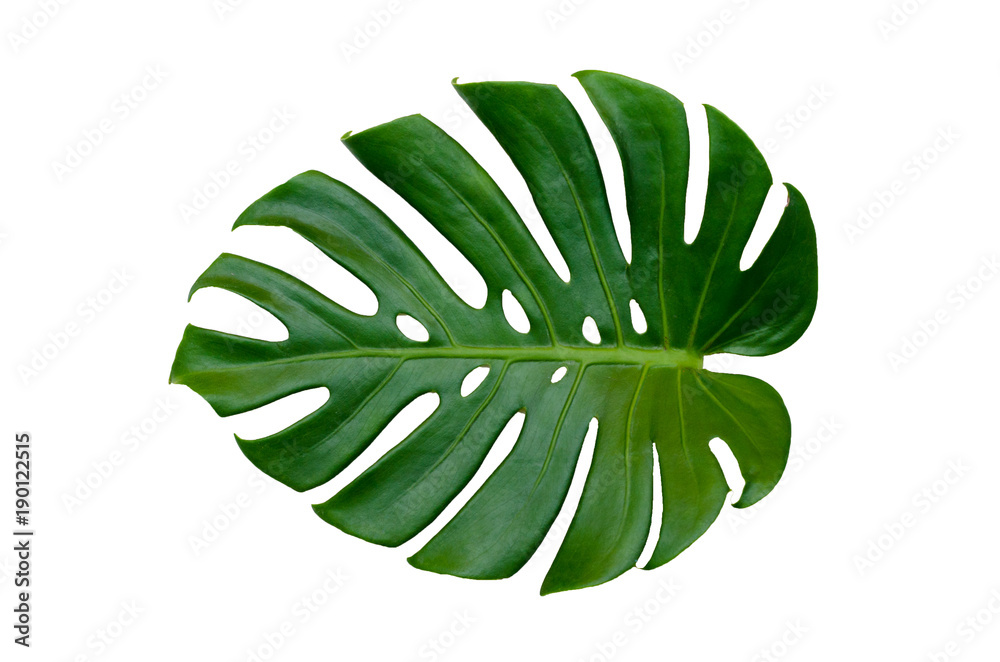 Fototapety, obrazy: Monstera leaves leaves with Isolate on white background Leaves on white