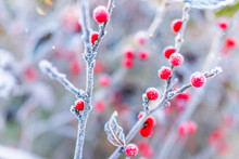 Macro Closeup Of Red Winter Be...