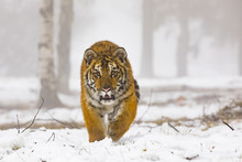 Siberian Tiger On Snow In Acti...