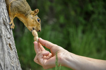Woman Hand Feeding Peanuts To ...