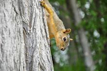 Fox Squirrel On Tree Trunck Cl...