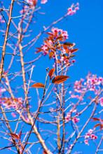 Wild Himalayan Cherry At  Phu Lom Lo