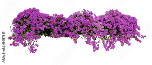 Large flowering spreading shrub of purple Bougainvillea tropical flower climber vine landscape plant isolated on white background, clipping path included.