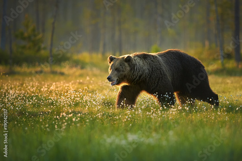 Close up photo of a wild, big Brown Bear, Ursus arctos, huge male in movement on arctic meadow covered on flowering grass lit by early morning colorful light. Wildlife photography in taiga wilderness