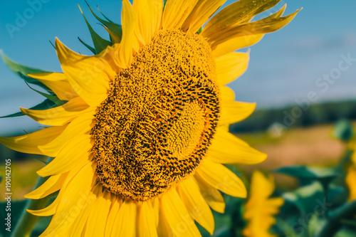 slonecznikowy-kwiat-na-polu