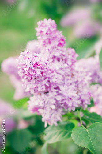 Foto op Canvas Lilac Blooming lilac flowers. Nature beauty