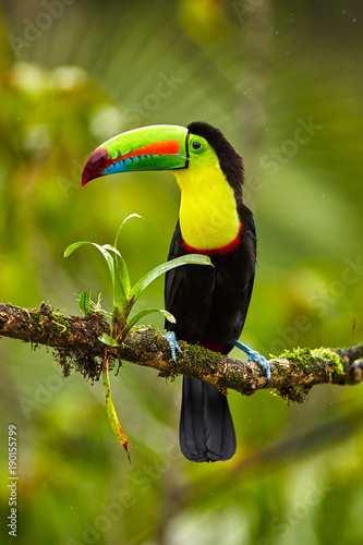 Keuken foto achterwand Toekan Portrait of Keel-billed Toucan (Ramphastus sulfuratus) perched on branch at Tropical Reserve. In Costa Rica. Wildlife bird