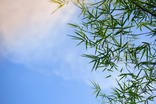 Bamboo Leaves With The Sky Bac...