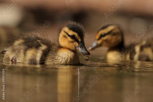 Foto auf Acrylglas Schwan Duckling
