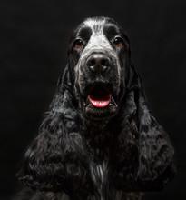 English Cocker Spaniel Dog  On Black Background