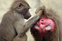 Family Of Hamadryas Baboons In...