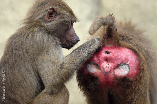 Photo Family of Hamadryas baboons in zoological garden