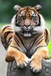 Single Sumatran Tiger in zoological garden