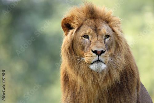 Single adult male Lion in zoological garden Canvas Print