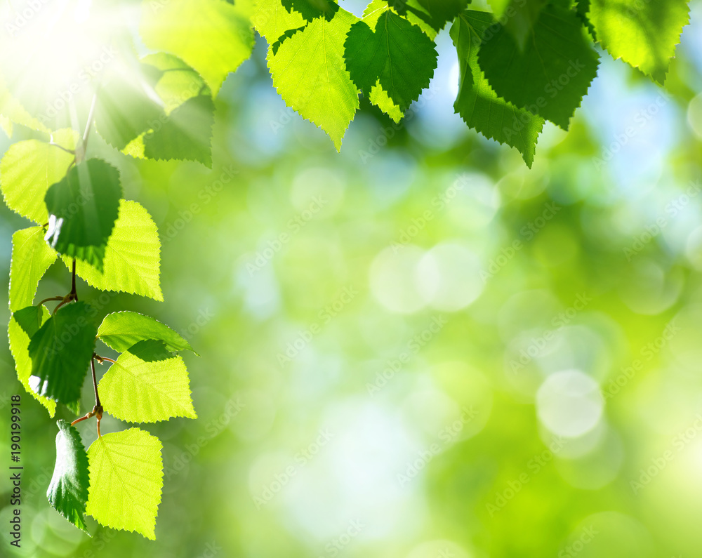 Fototapety, obrazy: Natural background. Bright spring background with birch branch in the sunlight.
