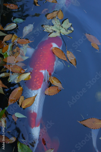 Beautiful View Of Japanese Koi Carp Fish Colorful Maple Leaves In A Lovely Pond In