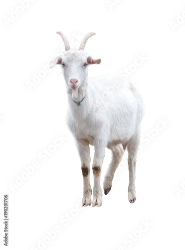 Photo White goat . Isolated.