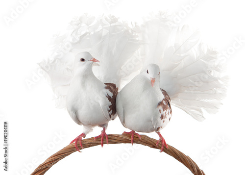 A pair of pigeons sit on a woven basket handle. Isolated