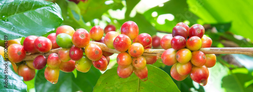 Poster Café en grains Group of ripe and raw coffee berries on coffee tree branch