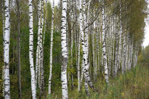 Papiers peints Bosquet de bouleaux Summer july view of birch grove in sunlight .