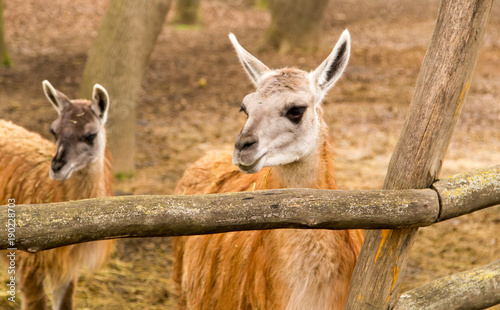 Foto op Canvas Lama Portrait of a llama in a zoo