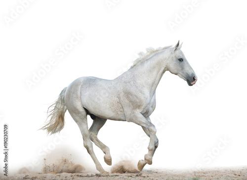 White stallion running gallop