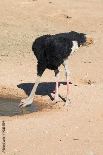 Staande foto Struisvogel Ostrich drinking
