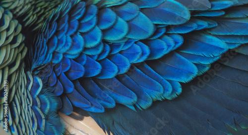 fototapeta na ścianę closeup peacock feathers (Green peafowl)