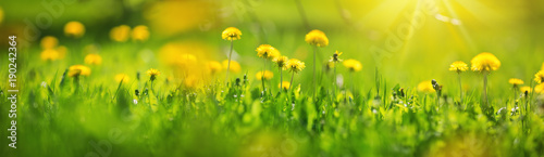 Foto op Plexiglas Paardenbloem Green field with yellow dandelions. Closeup of yellow spring flowers on the ground