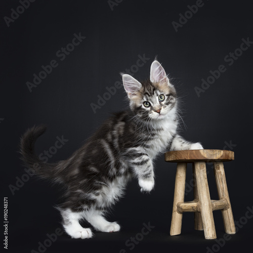 Female black silver tabby Maine Coon cat / kitten standing with