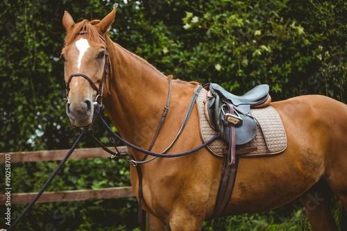 Tuinposter Paardrijden Thorough breed horse looking at camera