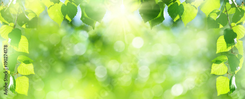 Natural background. Bright spring background with birch branch in the sunlight.