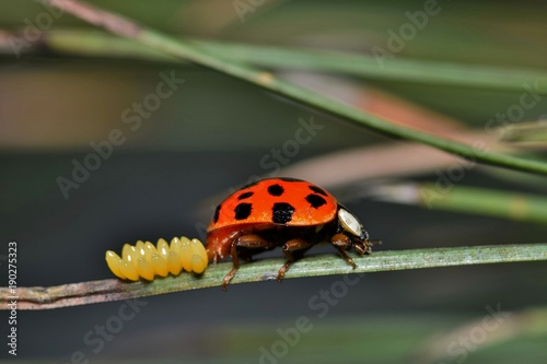 Fényképezés An eye-level view of a Harlequin Ladybird laying her eggs on a pine needle during the beginning of Spring