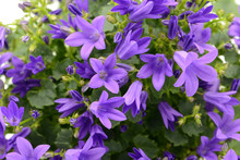 Blue Bellflowers (Campanula Po...