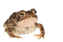 American Toad On White Backgro...