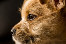 Terrier Puppy Close Up Macro O...