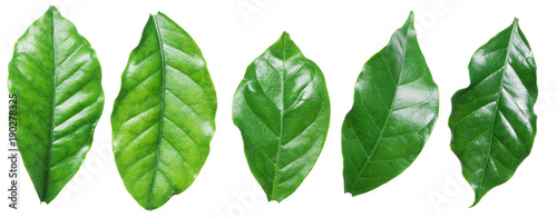 Perfect coffee leaves on the white background. Canvas Print